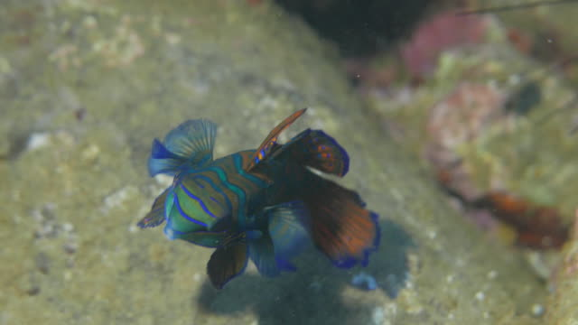 Cute Mandarin fish swimming close to camera