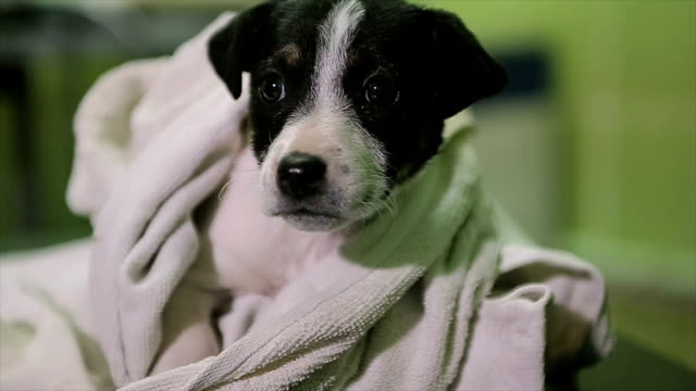 cute mixed race puppy first time at the veterinarian - towel stock videos and b-roll footage