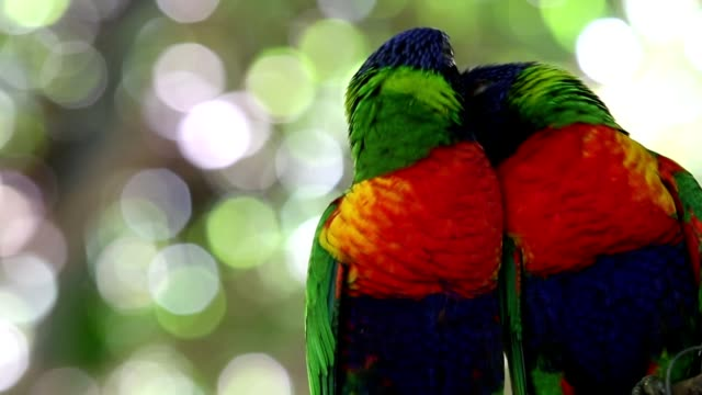 cute moment of a lorikeets couple on the nature - parrot stock videos & royalty-free footage