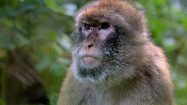 cute monkey - macaque stock videos & royalty-free footage