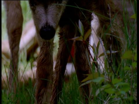 vídeos y material grabado en eventos de stock de cute newborn mule deer wobbles on its feet in long grass, canada - cervato
