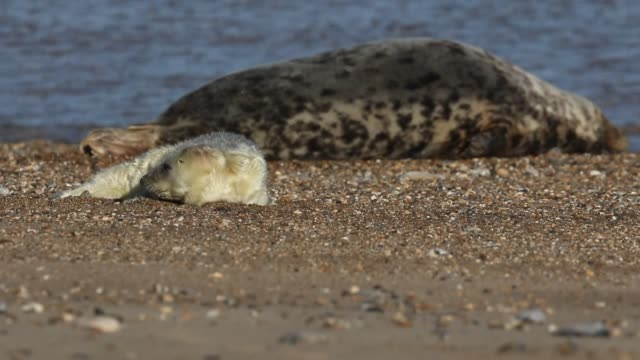 a cute newly born grey seal pup, halichoerus grypus, lying on the beach near its resting mother. - kegelrobbe stock-videos und b-roll-filmmaterial
