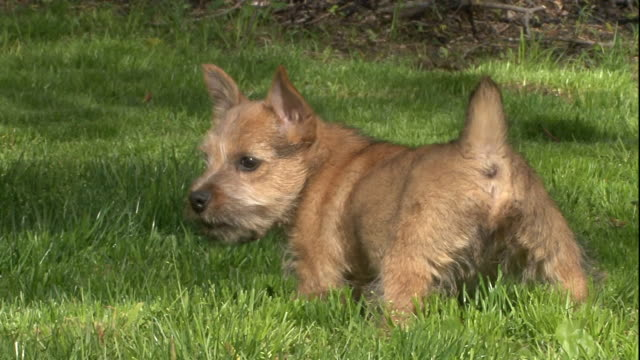 a cute norwich terrier puppy eats a treat outdoors. - young animal stock-videos und b-roll-filmmaterial