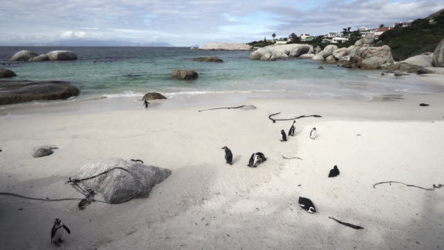 cute penguins waddling on the shore of scenic bay, camera moving slightly from right to left - cape town, south africa - waddling stock videos & royalty-free footage