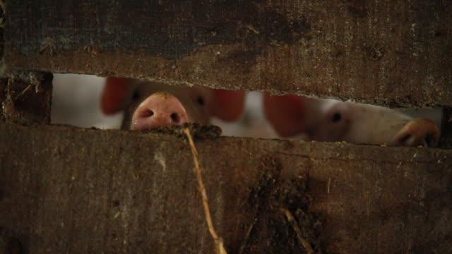 niedliche schwein schnauzen durch scheune planken - nutztier stock-videos und b-roll-filmmaterial