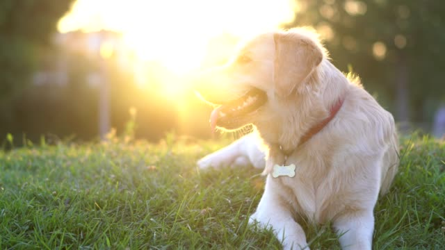 cute playful golden retriever dog lying on green grass in park - retriever stock videos & royalty-free footage