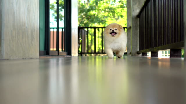 Cute Pomeranian Dog Running to Camera