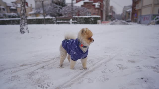 cute pomeranian dog wearing winter dog clothes while enjoying the winter adventure - animal costume stock videos & royalty-free footage