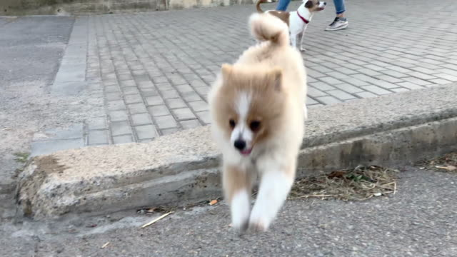 vidéos et rushes de cute pomeranian puppy playing and jumping during city walk. - deux animaux
