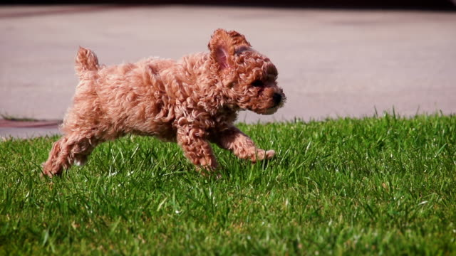 Cute poodle puppy playing in slow motion