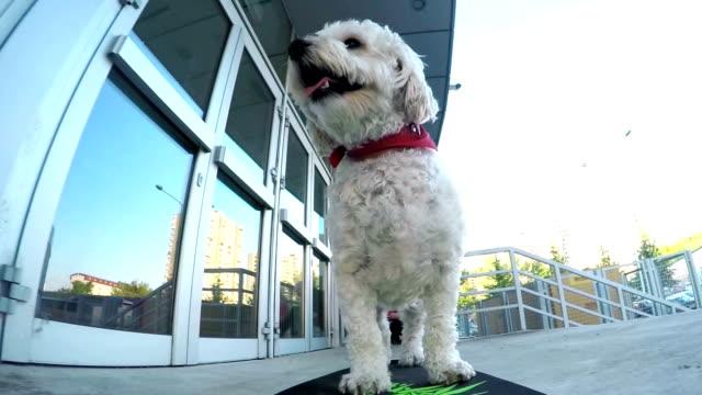 Cute poodle skateboarding