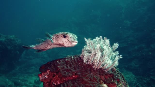 cute porcupine fish (diodon hystox) balloonfish hiding behind brittle sea star - balloonfish stock videos and b-roll footage
