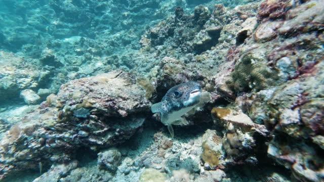 cute porcupine puffer fish (diodon hystox) balloonfish near brittle sea star - balloonfish stock videos and b-roll footage