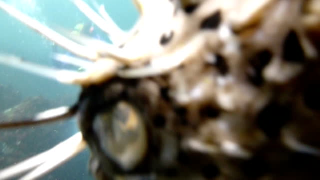 cute porcupinefish in taiwan - balloonfish stock videos and b-roll footage