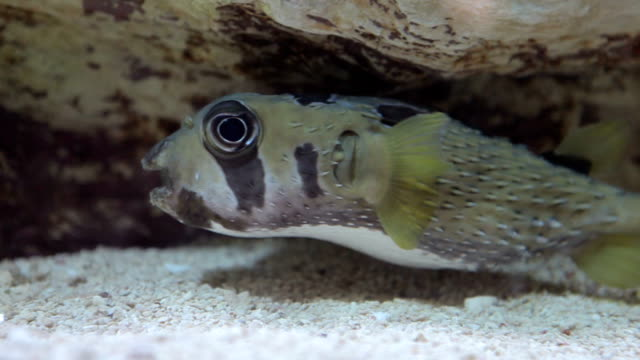 cute puffer fish - balloonfish stock videos and b-roll footage