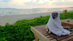 Cute Pug Dog Dries on a Beach After Swimming Wrap with Towel