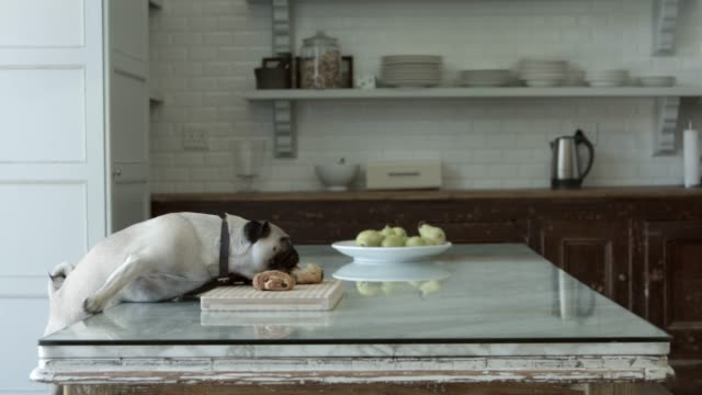 stockvideo's en b-roll-footage met cute pug eating food at home - reiken