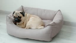 Cute pug going to his pillow