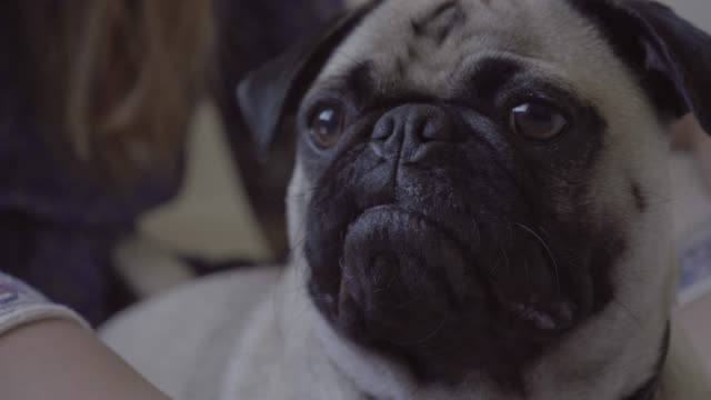 cute pug looking away at home - animal head stock videos & royalty-free footage