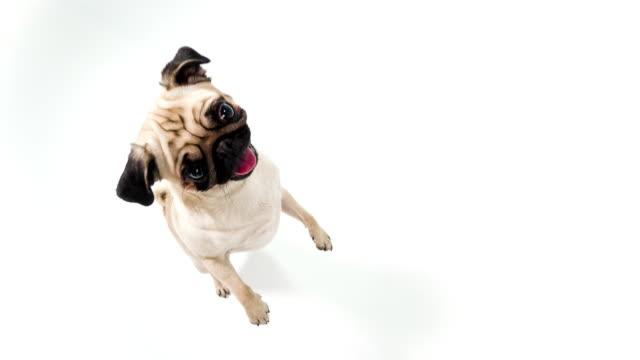 cute pug - suspicion stock videos & royalty-free footage
