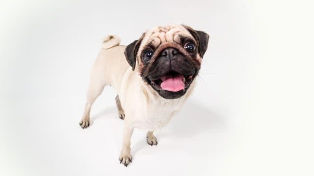 cute pug - fish eye lens stock videos & royalty-free footage
