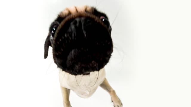 cute pug - cute stock videos & royalty-free footage