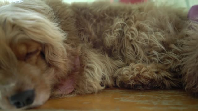 cute puppies with impressive fur in the domesticated house. - teddy bear stock videos & royalty-free footage