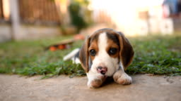 cute puppy beagle playing on green field