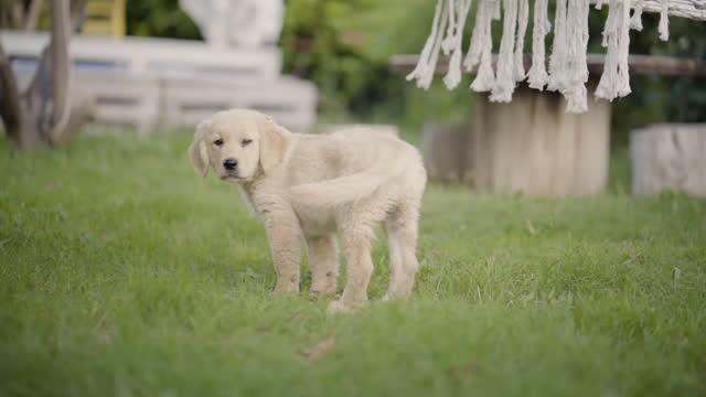 vídeos de stock e filmes b-roll de cute puppy is playing - retriever