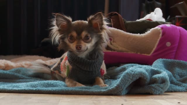 cute puppy lays on blanket and gets excited - blanket texture stock videos and b-roll footage