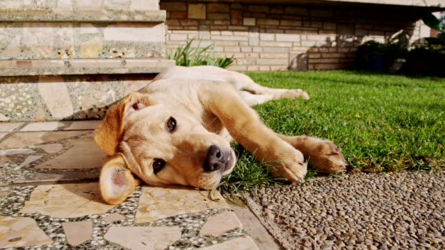 ms la cute puppy lying at the doorstep - lawn stock videos & royalty-free footage