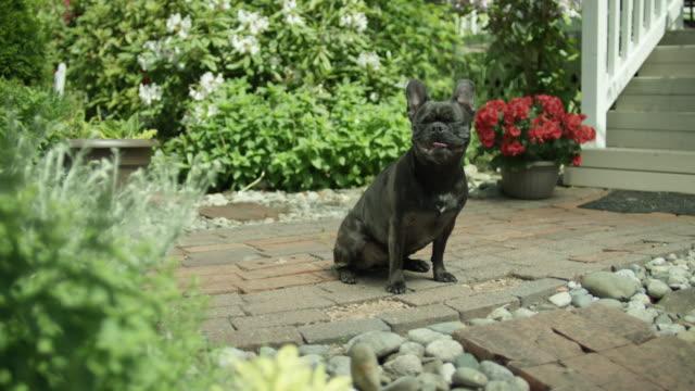 vídeos de stock, filmes e b-roll de cute puppy sits in the front yard. - saliva de animal