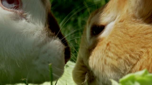 vídeos de stock, filmes e b-roll de coelhos bonita comendo salada de repolho - bigode de animal