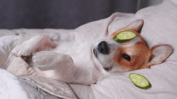 Cute red and white corgi lays on the bed  relaxed from spa procedures on face with cucumber, covered with a towel. Head on the pillow, covered by blanket, paw up. Finally funny dog eats cucumbers and turns over.