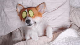 Cute red and white corgi lays on the bed with eye maks from real cucumber chips. Head on the pillow, covered by blanket, paw up. Finally funny dog barks and turns over.