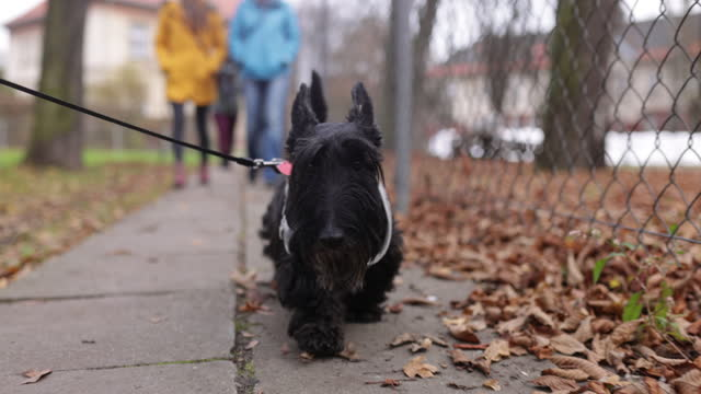 cute scottish terrier enjoying the walk with his family - bridle stock videos & royalty-free footage