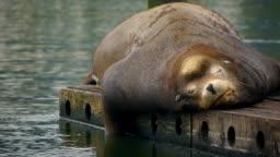 Cute sea lion relaxing on dock