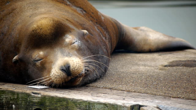 cute sea lion resting on dock - seal animal stock videos and b-roll footage