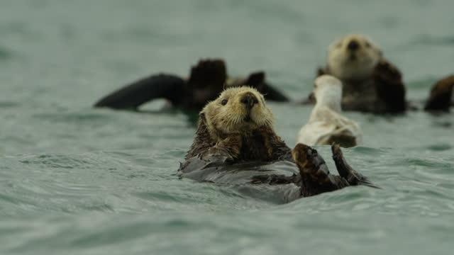 vidéos et rushes de ms cute sea otter pup floats up into shot in group - mignon