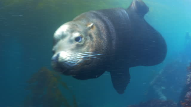 cute seal swimming by coral reef and plants n ocean - monterey, california - sea life stock videos & royalty-free footage