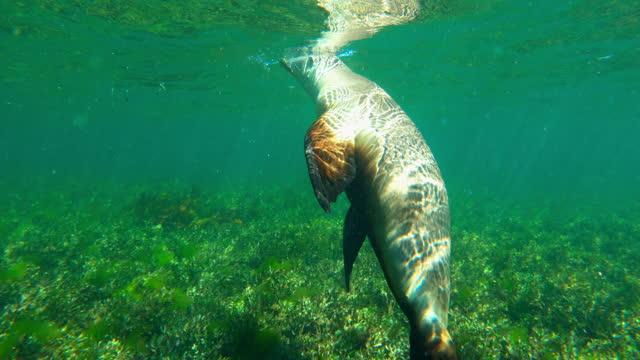 cute seal swimming over sea grass under water - western australia, australia - seal animal stock videos & royalty-free footage