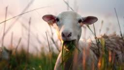 Cute sheep on green pasture. Farm animal portrait.