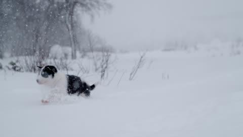 vidéos et rushes de slo mo mignon chiot chien de traîneau, pataugeant dans la neige - chien de traîneau