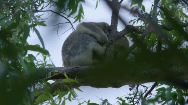 vídeos de stock, filmes e b-roll de a cute sleeping koala - casca de árvore