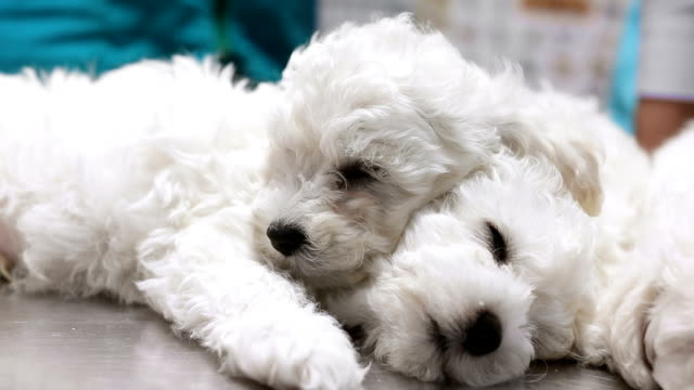 Cute sleepy bichon puppies in vet's office