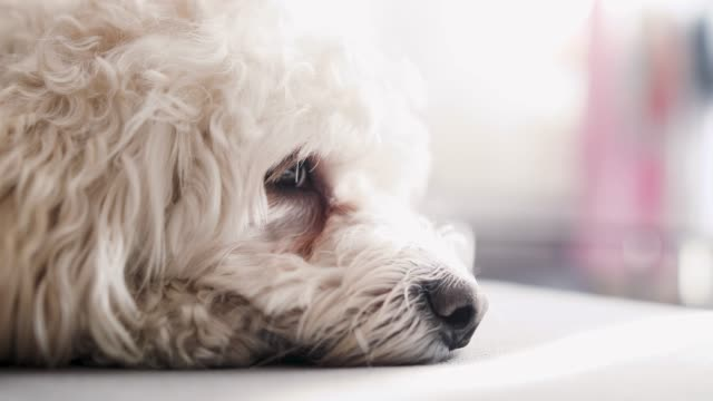 cute sleepy dog - dog blinking stock videos & royalty-free footage