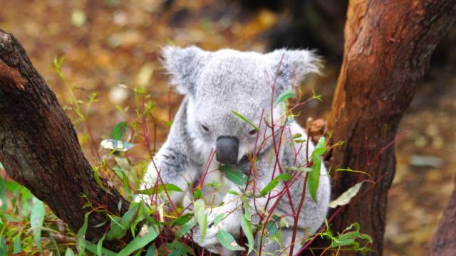 cute sleepy koala bear in australia - oceania stock videos & royalty-free footage