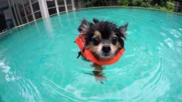 Cute Small Dog In Swimming Pool In Summer