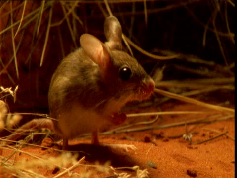 vídeos de stock e filmes b-roll de cute spinifex hopping mouse twitches its ears and nose in desert, northern territory, australia - roedor