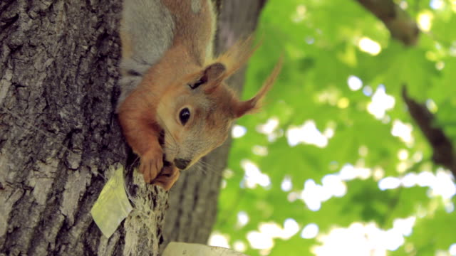 cute squirrel eating a nut climbing the tree - squirrel stock videos and b-roll footage